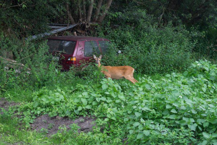 Ein Reh in Nachbars Garten