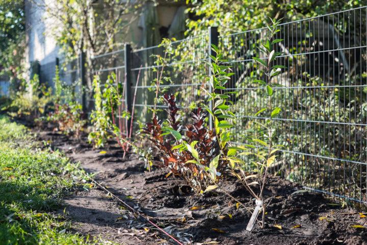 Die eingepflanzten Sträucher